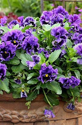 Фото-семена Виола витрокка  Frizzle Sizzle F1 Blue
