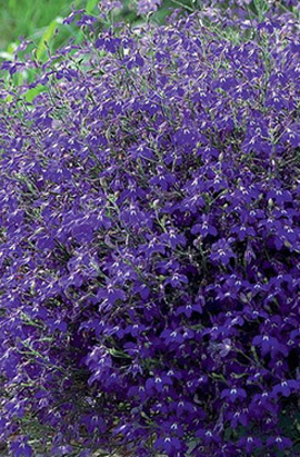 Фото-семена Лобелия ампельная Regatta Midnight Blue