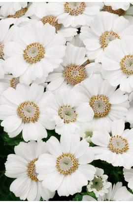 Фото-семена Цинерария (перикаллис) Venezia F1 White