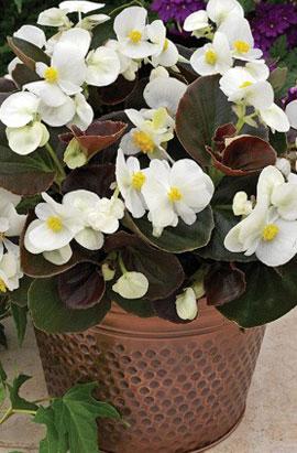 Фото-семена Бегония вечноцветущая Bada Boom F1 White (драже)