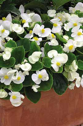 Фото-семена Бегония вечноцветущая Bada Bing F1 White(драже)