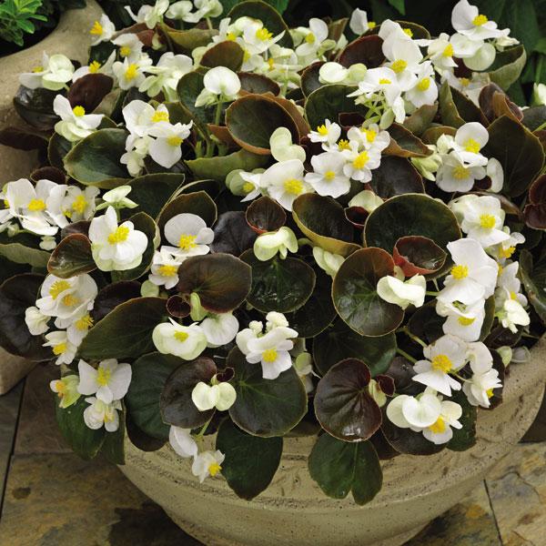 Фото-семена Бегония вечноцветущая EUREKA F1 BRONZE White (драже)