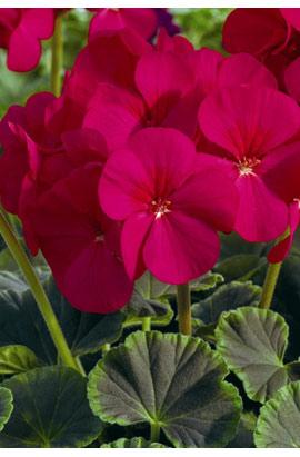 Фото-семена Пеларгония (герань) зональная  BullsEye F1 Cherry (драже)