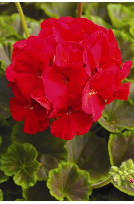 Фото-семена Пеларгония (герань) зональная  BullsEye  F1 Red (драже)