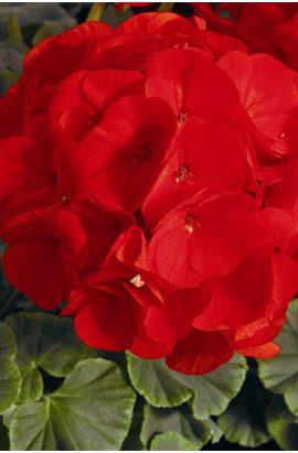 Фото-семена Пеларгония (герань) зональная  BullsEye F1 Scarlet (драже)