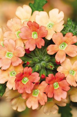 Фото-семена Вербена гибридная Obsession®   F1 Apricot