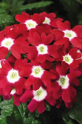Фото-семена Вербена гибридная Obsession®   F1 Red with Eys