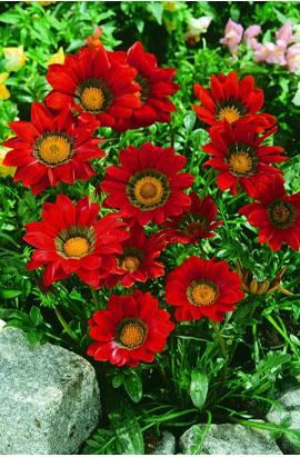 Фото-семена Газания жестколистная Gazoo® F1 Red with Ring