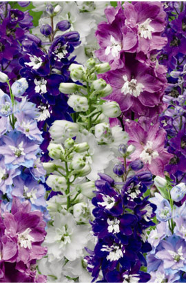 Фото-семена Дельфиниум многолетний Ескалибур( Excalibur )  Mix