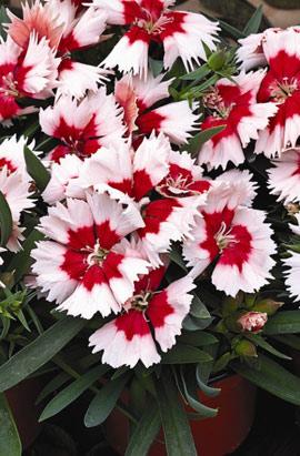 Фото-семена Гвоздика китайская Super Parfait™ F1 Red Peppermint,