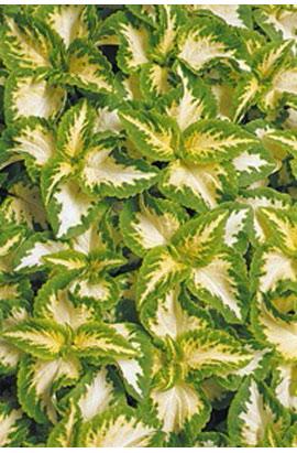Фото-семена Колеус Wizard® Jade