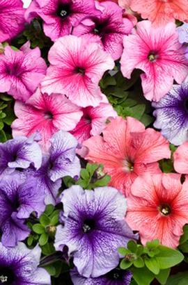 Фото-семена Петуния грандифлора Tritunia®F1 Veined Міх (драже)