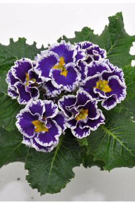 Фото-семена Примула махровая Hethor Coco F1 Blue