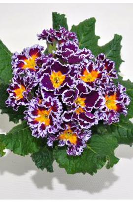 Фото-семена Примула махровая Hethor Coco F1 Purple