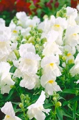 Фото-семена Львиный зев Montego F1 White