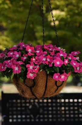 Фото-семена Катарантус ампельный Mediterranean XP Rose Halo