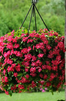 Фото-семена Катарантус ампельный Mediterranean XP Rose Hot