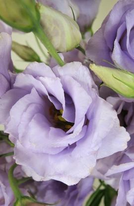 Эустома махровая  ABC F1 2 Lavender