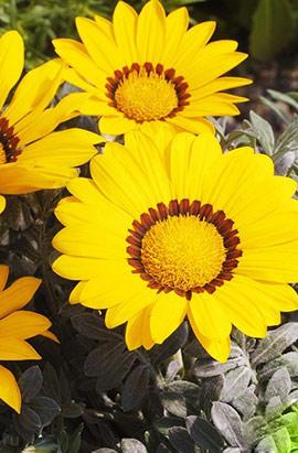 Фото-семена Газания жестколистная Big Kiss™ F1 Yellow