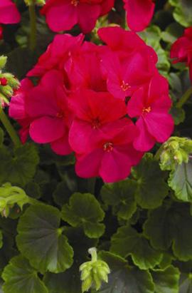 Фото-семена Пеларгония (герань) зональная  Multibloom F1  Violet