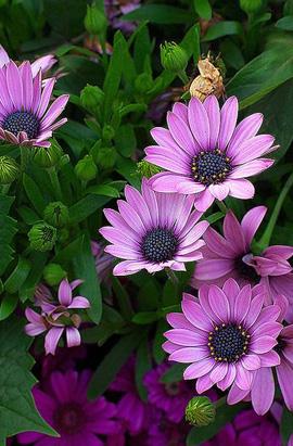 Фото-семена Остеоспермум  Asti F1  Lavender Shades
