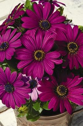 Фото-семена Остеоспермум  Asti F1  Purple