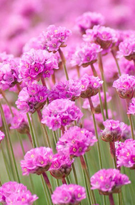 Фото-семена Армерия приморская Armada Rose