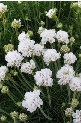 Фото-семена Армерия приморская Armada White