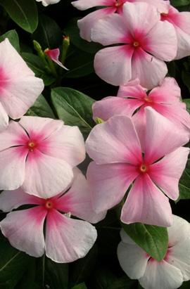 Фото-семена Катарантус Pacifica XP Blush