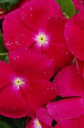 Фото-семена Катарантус Pacifica XP Raspberry