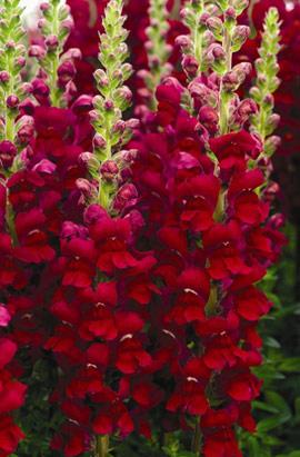 Фото-семена Львиный зев Opus III/IV Red