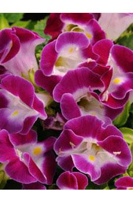 Фото-семена Торения Kauai Magenta