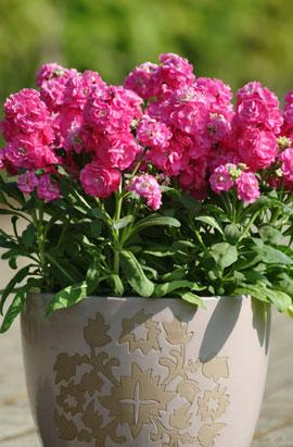 Фото-семена Левкой(Маттиола) Hot Cakes Pink