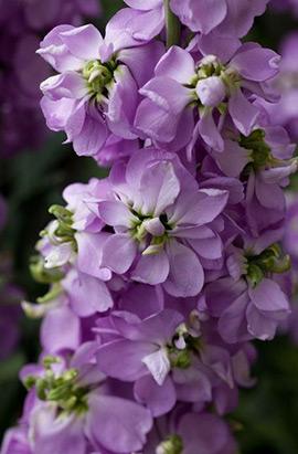 Фото-семена Левкой(Маттиола) Katz Light Lavender