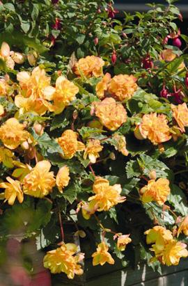 Фото-семена Бегония ампел. махровая Illumination®: Apricot Shades