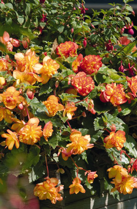 Фото-семена Бегония ампел. махровая Illumination®: Golden Picotee