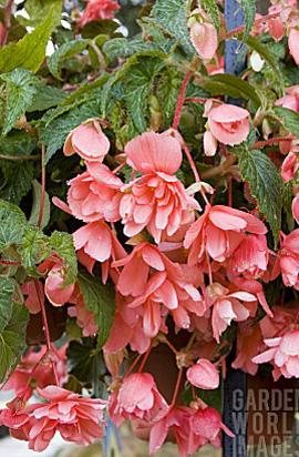 Фото-семена Бегония ампел. махровая Illumination®: Salmon Pink