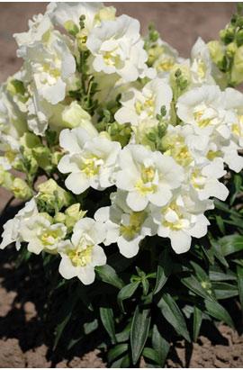 Фото-семена Львиный зев махровый Твинни (Twinny) F1 White