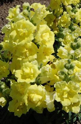 Фото-семена Львиный зев махровый Твинни (Twinny) F1 Yellow Shades