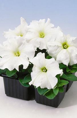 Фото-семена Петуния грандифлора Tango F1 White