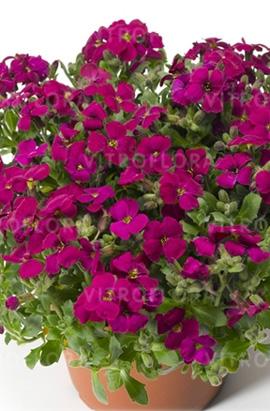 Фото-семена Обриета Audrey F1 Red
