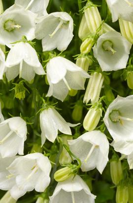 Фото-семена Колокольчики Свингинг Беллс (SWINGING BELLS) белый