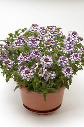 Фото-семена Вербена ампельная Obsession® F1 Cascade Violet Twister