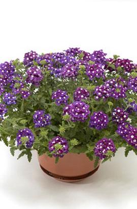 Фото-семена Вербена ампельная Obsession® F1 Cascade Purple Shades with Eye