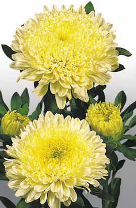 Фото-семена Астра китайская Матадор Yellow (Matador®)