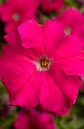 Фото-семена Петуния грандифлора Bravo®F1 Rose (драже)