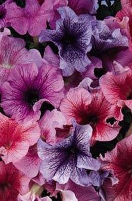Фото-семена Петуния грандифлора Daddy® Mix