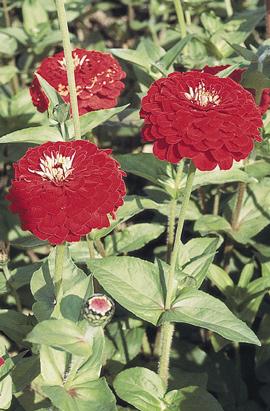Фото-семена Цинния Benary's Giant  Deep Red /Темно-красная  (на срезку)