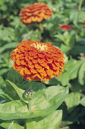 Фото-семена Цинния Benary s Giant: Orange/Оранжевая (на срезку)