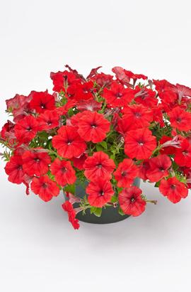 Фото-семена Петуния ампельная SUCCESS! Red/Красная